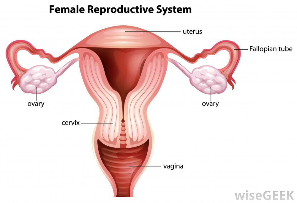 female-reproductive-system-against-white-background