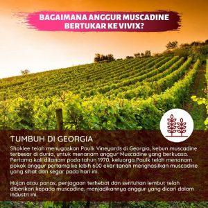 bagaimana anggur muscadine bertukar kepada vivix